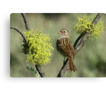 Brewer's Sparrow Canvas Print