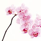 Orchids Nine by bkphoto