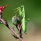 Preying Mantis by tonybat