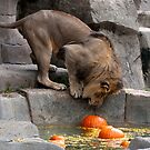 Bobbing for Pumpkins! by Jarede Schmetterer
