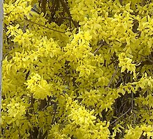 Forsythia Glory....title by jules572....Thank You jules!! by trueblvr
