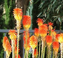 Red Hot Pokers (2049) by ScenerybyDesign