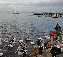 Pelican Feeding at Kingscote, Kangaroo Island by roger smith