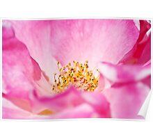 Pink Parfait Rose Poster