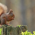 Red Squirrel by GoWildScotland