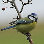 Blue Tit by GoWildScotland