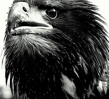 Sea eagle in black & white by Alan Mattison IPA