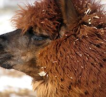 Alpaca Profile by swaby