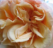 Marmalade Rose by MarianBendeth