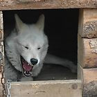 Alaska Sled Dog by Margaret  Shark