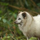 Arctic fox by Hadleigh Thompson