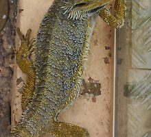 Lizard - Featherdale Wildlife Park by shmoo