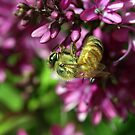 Busy bee. by Steve Chapple