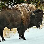 What??  (Bison walking down the road in Yellowstone) by Ann  Van Breemen