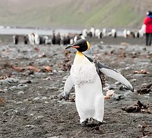 Adolescent King penguin with vest on, Macquarie Island by Phill Danze