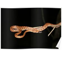 Brown Tree snake Poster