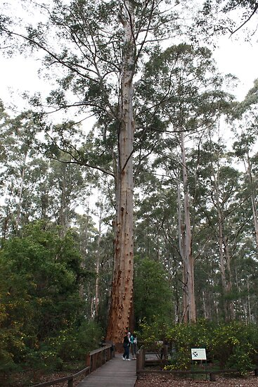Gloucester Tree, Gloucester National Park, Pemberton, WA by Elaine Teague