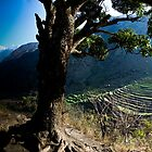 Tree with terraced fields by Erdj