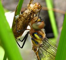 newly emerged dragonfly by Belinda Cottee