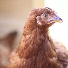 Rhode Island Red by CDNPhoto
