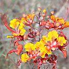 Hibicus in Arizona by CDNPhoto