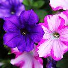 Pair of Petunias by CDNPhoto