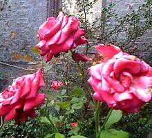 Pink Roses - De Colores Community Garden (2) by SylviaS