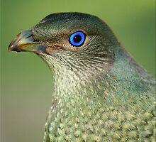 Bower Bird Female by Kym Howard