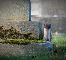 Stoat Among The Gravestones by geoff curtis