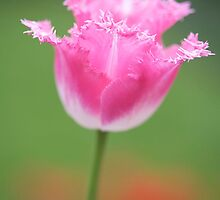 Tulip 'Pink Fountain' by Sarah-Jane Covey