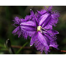 Purple Fringe Lily - Mt Cannibal, Gippsland, Victoria Photographic Print