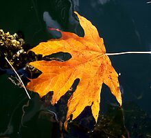 leaf floating on water Cowichan bay  by Celticrow