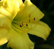 Yellow Lily Close up - Original Fine Art Photograph by Anne Thea Free