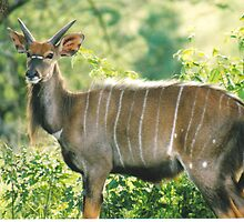 Beauty - Young nyala in Hluhluwe-Umfolozi, South Africa by Lynda Harris