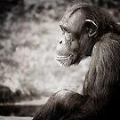 chimp by Jack Toohey