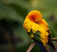 Sun Conure by roger smith