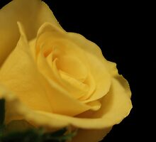 Flower: Yellow Rose II by adpixels