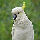 The Cockatoo by Jeff  Burns