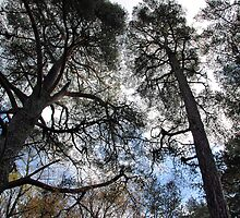 Tall Trees of Perthshire by Lindamell