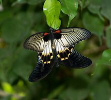The Great Mormon Swallowtail by RatManDude