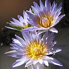 Waterlily from our dam - beautiful perfume! by Frandiana