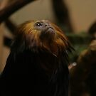 """Worship"" The Golden Lion Tamarin  by RockyWalley"