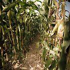 Tina Picard Photographer - Corn Field by tinapicardphoto