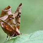 Purple Thorn (Selenia tetralunaria) by chris2766