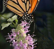 Vertical Monarch by Dennis Rubin IPA