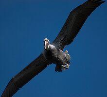 Pelican  by ShahnaChristine .