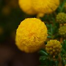 Wattle in the Park by kalaryder
