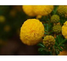 Wattle in the Park Photographic Print