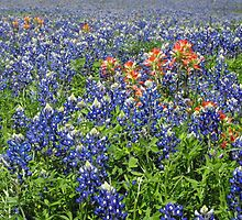 Texas Bluebonnets with Indian Paintbrush by Susan Russell
