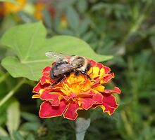 bumble bee and marigold by tomcat2170
